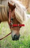 Poney d'îles Shetland Photos libres de droits
