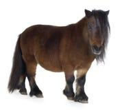 Poney d'îles Shetland image libre de droits