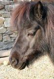 Poney d'îles Shetland Images libres de droits
