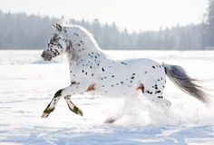 Poney d'Appaloosa Photos stock