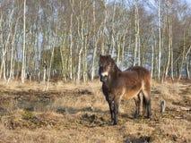 Poney d'Exmoor avec les arbres de bouleau 2 Photo stock