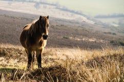 Poney d'Exmoor - Equus Ferus Caballus - sur un fond en pente de campagne Image libre de droits