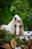 Poney d'obturation dans la forêt Images libres de droits
