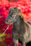 Poney de Brown Shetland sur le fond rouge Photos libres de droits