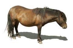 Poney de cheval de Brown avec l'ombre Photographie stock