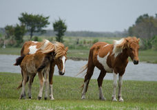 Poney de Chincoteague, également connu sous le nom de cheval d'Assateague Images stock