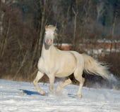 Poney de Cremello gallois dans le domaine d'hiver Images stock