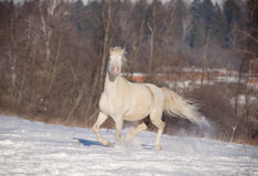 Poney de Cremello obturation Images stock