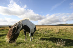 Poney de Dartmoor Images libres de droits