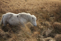 Poney de Dartmoor Photo stock