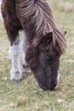 Poney de Dartmoor photos stock