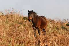 poney de dartmoor Photos stock