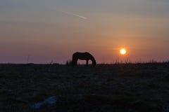 Poney de Dartmoor au lever de soleil Photographie stock libre de droits