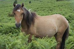 Poney de Dartmoor (cheval) entouré par la végétation Photographie stock