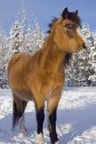 Poney de gallois Photos libres de droits