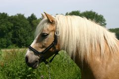 Poney de Haflinger Photographie stock libre de droits