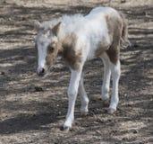 Poney de Hatchling pour une promenade Images libres de droits