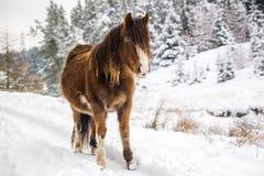 Poney de montagne dans la neige images stock