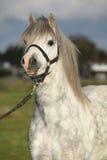 Poney de montagne de Gallois avec le licou Image stock