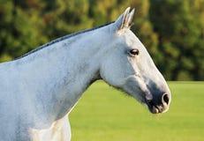 Poney de polo Photo libre de droits
