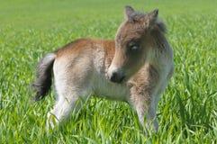 Poney de poulain Photo stock
