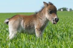 Poney de poulain Image stock