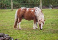 Poney de Shetland Photos libres de droits