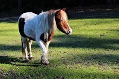 Poney de Shetland repéré photos libres de droits