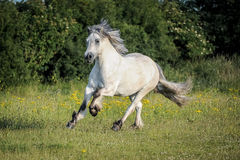 Poney des montagnes Photos stock