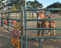 Poney in een landbouwbedrijf van het pampkinflard Royalty-vrije Stock Afbeeldingen