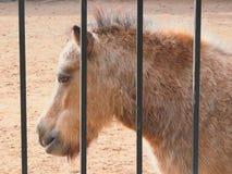 Poney en captivité Photographie stock libre de droits