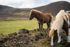 Poney et cheval islandais dans le pâturage Photographie stock libre de droits