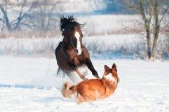 Poney et crabot d'obturation jouant en hiver Photographie stock libre de droits