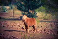 Poney horse shetland outside red. Beautiful funny beautiful mini little Royalty Free Stock Images