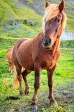 Poney islandais image libre de droits