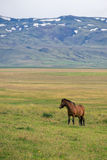 Poney islandais Photo libre de droits