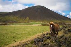 Poney islandais dans le pâturage Photo stock