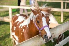 Poney klein bruin en wit paard in houten omheining en doos met wind in manenhaar Royalty-vrije Stock Afbeeldingen