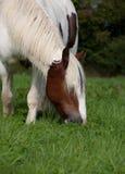Poney mangeant l'herbe Photos libres de droits
