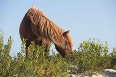 Poney mangeant sur des dunes de sable Photographie stock libre de droits