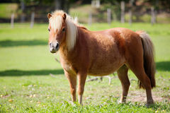 Poney in meadow Royalty Free Stock Images