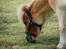 Poney mignon Photos stock