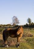 Poney neuf de forêt images libres de droits