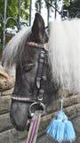 Poney noir avec la crinière blanche Photographie stock