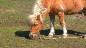 Poney op landbouwbedrijf stock video