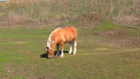 Poney op landbouwbedrijf stock footage