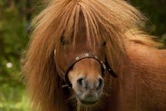 Poney portait Royalty-vrije Stock Foto