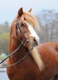 Poney rouge Photographie stock libre de droits
