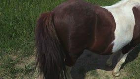 Poney ` s terug met staart stock video
