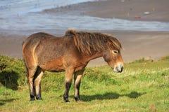 Poney sauvage Photo libre de droits